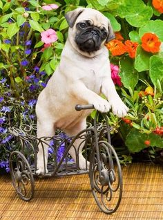 """""""Whatever gave me the idea that Pugs could ride bikes?"""" Click on this image for more pinable #dogs #puppies and #Pugs"""