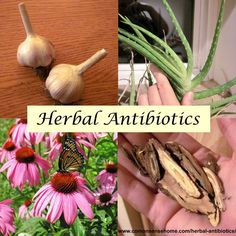 Herbal antibiotics may be an effective alternative for treating drug resistant bacteria. Herbs have been used ward off colds & flu, and speed wound healing