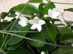 Il mio bel Gelsomino del Madagascar fiorisce anche in un vaso sul balcone della mia casa nella Pianura Padana!