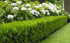 Boxwood Hedge With Hydrangeas Our Garden Ideas