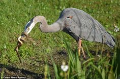 It's stalemate between the two animals while the Heron attempts to shake free of the coil