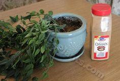 cinnamon uses in plants