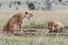 Lion cowers behind his paw after telling off from lioness | Daily Mail Online