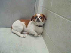 Chihuahua dog for Adoption in Rosenberg, TX. ADN-539219 on PuppyFinder.com Gender: Male. Age: Adult