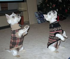 https://flic.kr/p/4HgTWX | Dressed up Westies | Maggie and Molly, Christmas '07 begging to get out of those horrible sweaters.