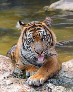 Indah ♀ - A Charming Female Sumatran Tiger from Toronto | Flickr - Photo Sharing!