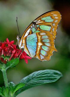 Glorious Malachite Butterfly - Flowers Garden Love
