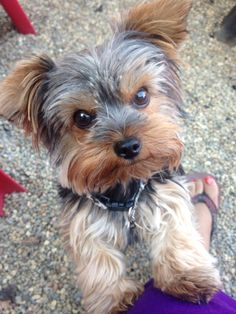 Yorkie...the cutest dog EVER!