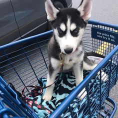 I FINALLY GOT MY PUPPY!!! Thank you so much for all of you loyal people who have bought from / talked to me for the past four years... you are all my PFF's & I love you dearly !! As some of you know, I've been saving up for a husky puppy for a while, but it has been a slow process as I'm also saving for uni & have a TON of bills to pay... posh is my full time job! I finally ended up bringing Indigo home yesterday!! Her name is Indie for short & she's trouble with a capital T, but absolutely…