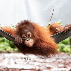 This beautiful girl Meryl. You do not have to be in Indonesia to help orangutans. Even from this side of the world you can contribute to saving their species! You can sponsor an orangutan like Meryl and be apart of their journey back to the wild! I know I love being one of her sponsor moms! I don't have much but $10-$12 a month is nothing compared to what her life is worth! #BeTheChange #MakeADifference #Repost @savetheorangutan_org ・・・ Meryl was rescued from a life as a pet thanks to Nyaru…