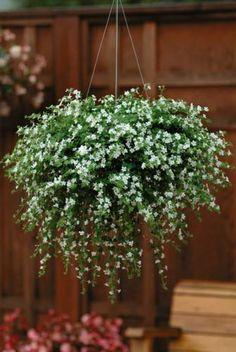 bacopa...love it in pots. delicate little flowers. comes in purple too.