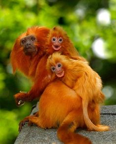 The golden lion tamarin (Leontopithecus rosalia) also known as golden marmoset, is a small new world monkey. Native to the Atlantic coastal forests of Brazil, the golden lion tamarin is an endangered species and among the rarest animals in the world. Primates, Mammals, Tamarin Lion Doré, Golden Lion Tamarin, The Animals, Baby Animals, Funny Animals, Wild Animals, Animals And Their Babies