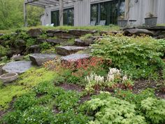 Woodland yard with foamflower, viola, goldenseal, columbine and sedum