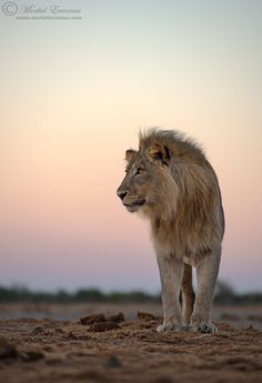 Amazing Lion photo by Morkel Erasmus, well-known South African Wildlife Photographer.