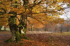 hayedo encantado en la sierra de urbasa en navarra Basque Country, Bilbao, Sierra, Spain, Country Roads, Amazing, Plants, Travel, Art