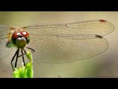 Dragonfly Wings in Slow Motion - Smarter Every Day 91 - YouTube