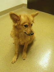 Tyler # 130950 is an adoptable Pomeranian Dog in Lebanon, OH. This is just one of the great pets at the shelter waiting for a home. We have dogs and cats available for adoption. Choose a pet to fit yo...