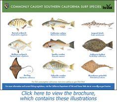 Nice bat ray bolsa chica whole perch california surf for California saltwater fish species