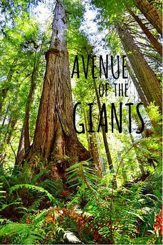Avenue of the Giants: A Scenic Drive Through California's Redwood Trees