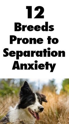 12 Dog Breeds Prone to Separation Anxiety.... I would add huskies to this list! iheartdogs.com/...