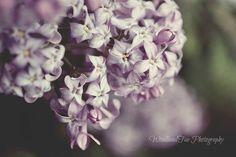 Spring Lilacs Purple Lavender Floral Botanical by WoodlandFae, $30.00