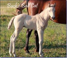 For Sale - BUCK'S BAD CAT #pend - buckskin Tennessee Walking Horse colt by The Buck Starts Here x Chicago Diamond. Foaled 05/09/2012. 15.1 hands when grown and he can really walk! May be a double agouti and a double black - breeding/trail stud prospect. If you want something outstanding, he can be yours for $2500 at weaning time. Horse is located in Missouri. Overseas transport can be arranged.   http://www.holmesfarmwalkers.com/BucksBadCat.htm