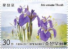 Japan-iris (Iris ensata)