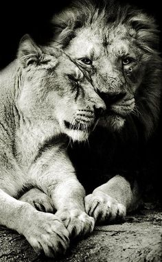 King & Queen... Lioness & Lion