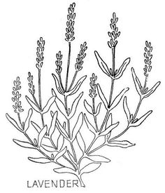 lavender with leaves:
