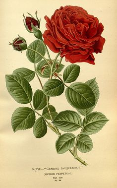 "Rose ""General Jaqueminot"" - Favourite Flowers of Garden and Greenhouse - Frederick Warne  Co. - 1896 / 97"