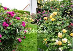 Üppig wachsen diese Rosensträucher in Gelb und Pink