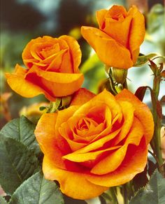 Timeless Beauty of Roses!