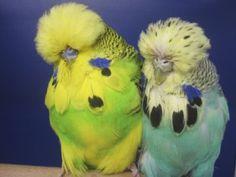 Daniel Luetolf - Budgies Show Budgies, English Budgie, Budgie Parakeet, Cute Birds, Bird Feathers, Funny Cute, Beautiful Birds, Cute Pictures, Pets