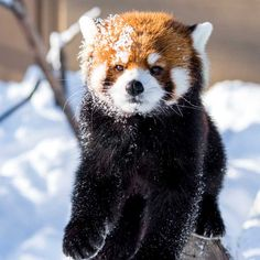 涼しげで穏やかそうな顔 2015年1月撮影 red pandas movie -> @cattail.movie #EITA #RedPanda #MaruyamaZoo #Sapporo #Hokkaido #エイタ #レッサーパンダ #円山動物園 #札幌 #小熊猫 #動物園 #ふわもこ部 #癒やし #zoo #redpandas #redpandanation #redpandalove #cute #fuluffy #animal #animals #animalphoto #animalphotos #animalphotography #instaanimal #animallover Nature Animals, Animals And Pets, Baby Animals, Cute Animals, Cute Creatures, Beautiful Creatures, Animals Beautiful, Panda Puppy, Cubs Pictures