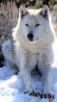 White Wolf deadly dangerous yet beauttttiful Wolf Photos, Wolf Pictures, Animal Pictures, Wolf Love, Wolf Spirit, Spirit Animal, Beautiful Creatures, Animals Beautiful, Tier Wolf