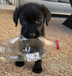 Watch funny and cute dogs and puppies as they are the most lovable pets in the world. Super Cute Puppies, Baby Animals Super Cute, Cute Baby Dogs, Cute Little Puppies, Cute Dogs And Puppies, Cute Little Animals, Cute Funny Animals, Doggies, Black Lab Puppies