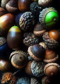 Acorns. in all their various shades