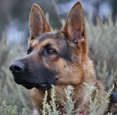 This is the signature look of German Shepherds.