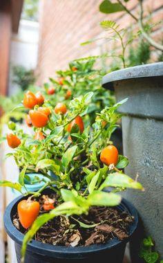 Die Paprika gehört mit ihren bunten Früchten zu den schönsten Gemüsearten. Weil immer mehr attraktive Sorten zu haben sind, verwundert es nicht, dass schon die ersten Anbauversuche eine wahre Sammelleidenschaft entfachen können. Hier finden Sie hilfreiche Tipps rund um den Paprika-Anbau.