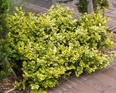 Emerald 'N Gold Euonymus [available at Lurveys Nursery] (height: width Evergreen Shrubs, Trees And Shrubs, Box Wood Shrub, Side Yards, Curb Appeal, Emerald, Berries, Herbs, Courtyards