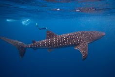 I used to love scuba diving and I hope to get back to it soon. One of my long time scuba goals has been to dive with a whale shark. Putting this goal at 2016 - maybe in Belize or the Sea of Cortez.