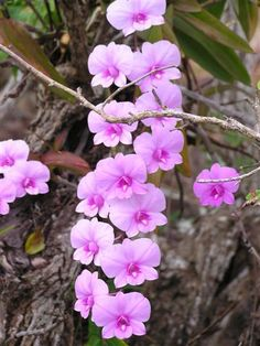 Cooktown Orchid: (Vappodes phalaenopsis) - The state flower of Queensland, Australia