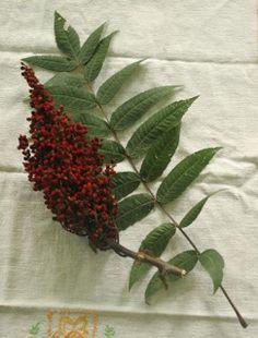 Zaatar, Both a Spice Blend and a Plant - Lebanon