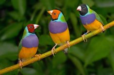 Gouldian finches are found with three different head colours.Red, Orange and Black. In the wild black is the most common head colour and orange is by far the rarest. The species was recently reclassified by the IUCN from Endangered to Near Threatened