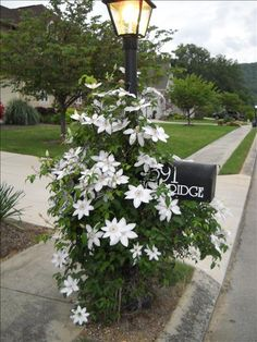 Clematis planted 2 years ago bloomed and covered mailbox. Blooms were… Clematis planted 2 years ago Mailbox Garden, Mailbox Landscaping, Lawn And Garden, Garden Landscaping, Mailbox Planter, Luxury Landscaping, Landscaping Company, Landscaping Ideas, Clematis Trellis