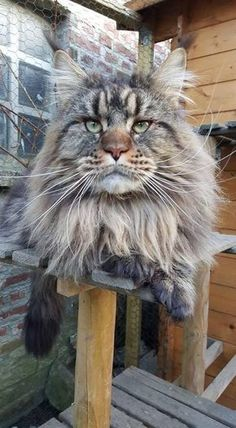 """next time the animal shelter notes that the big, long-haired cat you're interested in is """"part Maine Coon"""", chances are 99% it's not, it's just a big, fat long-haired street cat (but adopt it anyhow!!). Ask yourself if it looks like THIS guy ??!! =^..^= - classic look : sunken eyes, big muzzle, huge tail, ear tufts"""