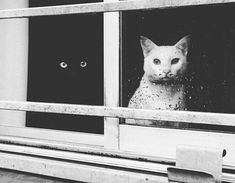 BLACK AND WHITE CATS  IN THE WINDOW