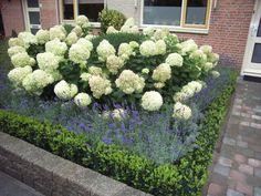 Tuin volzetten met paar soorten planten: annabel hortensias, lavendel, buxus