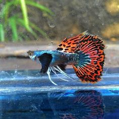 Photo of a male Guppy showing enhanced characteristics in finnage and colour from mutations and selective breeding. Particularly noteworthy are the beautiful black 'dumbo ear' fins as well as the very extended fins, or 'ribbons' on the vent. This male has a superb dorsal that matches the tail well and a pleasing blue iridescence on the body. A very pretty specimen wouldn't you agree?