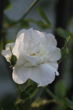Damask Rose: Rosa 'Rose d'Hivers' (origins unknown)